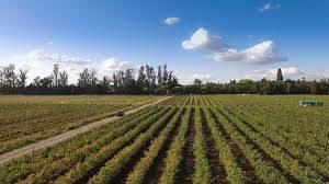47 hectáreas de plantación de frambuesa orgánica en chillan