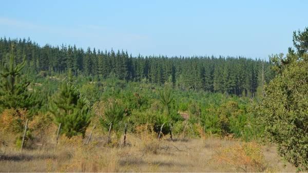 Se venden 10 hectáreas plantadas de pino.