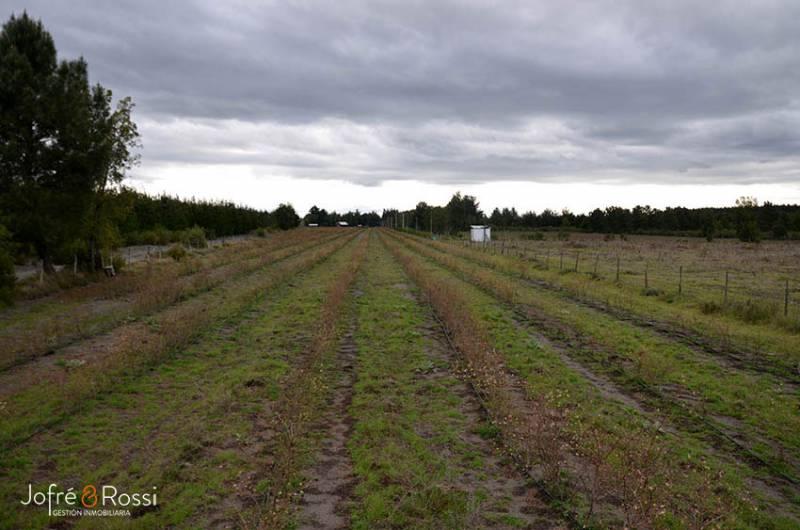 Vende terreno agricola con arandanos producción 20 ton aprox